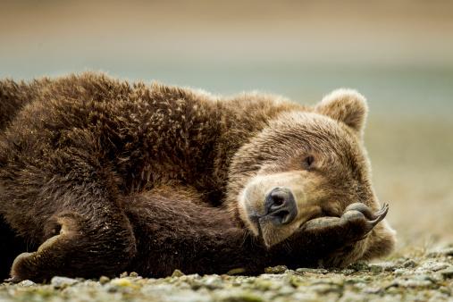 Brown Bear「Brown Bear, Katmai National Park, Alaska」:スマホ壁紙(12)