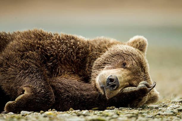 Brown Bear, Katmai National Park, Alaska:スマホ壁紙(壁紙.com)