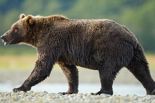 Walking「Brown Bear, Katmai National Park, Alaska」:スマホ壁紙(2)