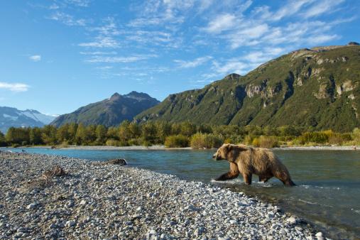 Salmon River  Alaska「Brown Bear, Katmai National Park, Alaska」:スマホ壁紙(15)