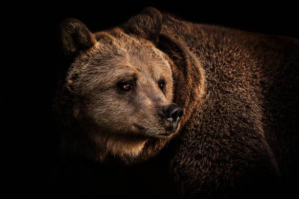 Brown bear portrait:スマホ壁紙(壁紙.com)