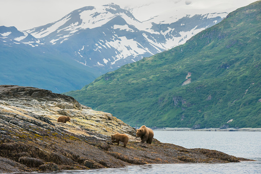 Katmai National Park「A brown bear sow and her yearling cubs forage the shoreline for food in Kukak Bay, Katmai National Park & Preserve, Alaska.」:スマホ壁紙(13)