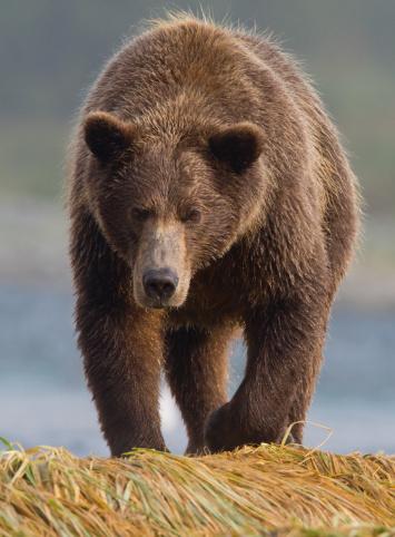 Approaching「Brown Bear Head On」:スマホ壁紙(13)