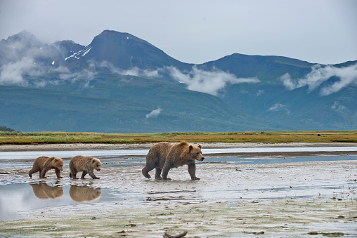 Wilderness「A Brown Bear with 2 spring cubs」:スマホ壁紙(18)