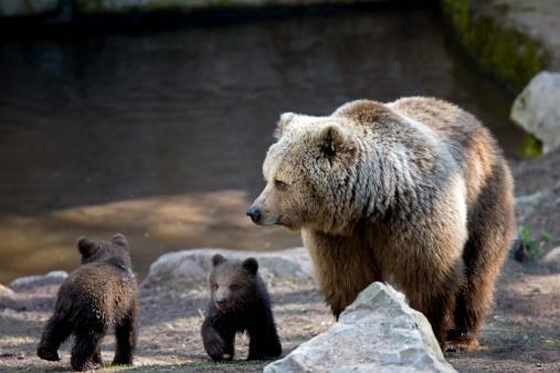 Bear Cub「Brown bear」:スマホ壁紙(5)