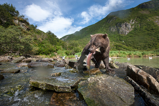 Eating「Brown Bear and Salmon, Katmai National Park, Alaska」:スマホ壁紙(8)