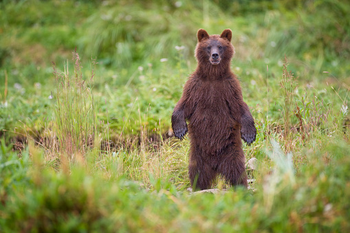 Bear Cub「Brown Bear in Coastal Meadow in Alaska」:スマホ壁紙(12)