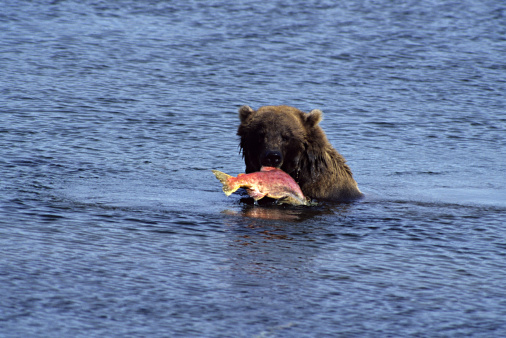 Animals Hunting「Brown Bear, Ursus arctos, feeding on Sockeye Salmon, Brooks River, Katmai National Park, Alaska, USA」:スマホ壁紙(13)