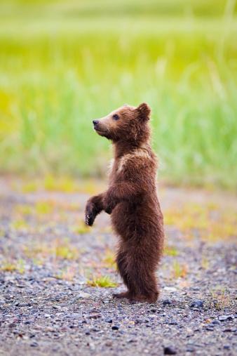 Bear Cub「Brown Bear Cub Standing At Lake Clarke National Park」:スマホ壁紙(18)