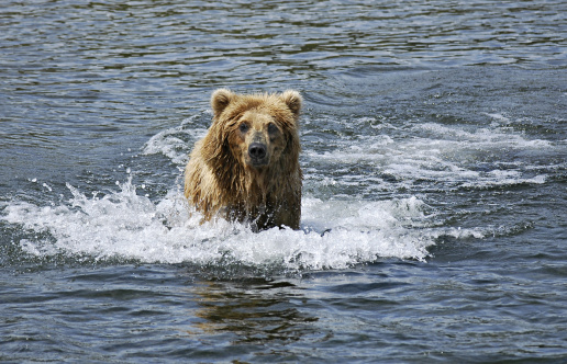 Omnivorous「Brown Bear, Ursus arctos, running in water. Katmai National Park. Alaska. USA」:スマホ壁紙(14)