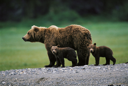 Bear Cub「Brown bear (Ursus arctos) and two cubs side by side, spring」:スマホ壁紙(10)