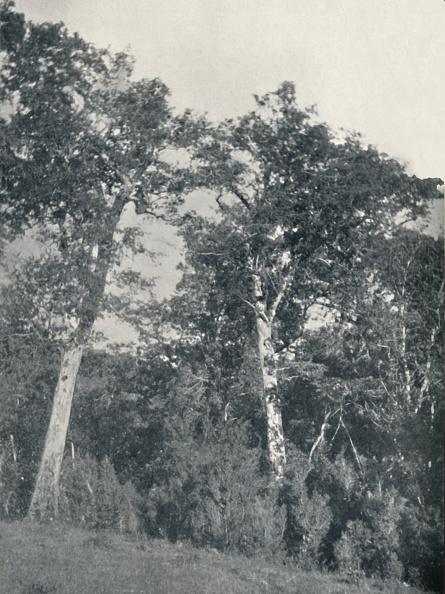 Beech Tree「A Forest Of Antarctic Beech At Temuco」:写真・画像(1)[壁紙.com]