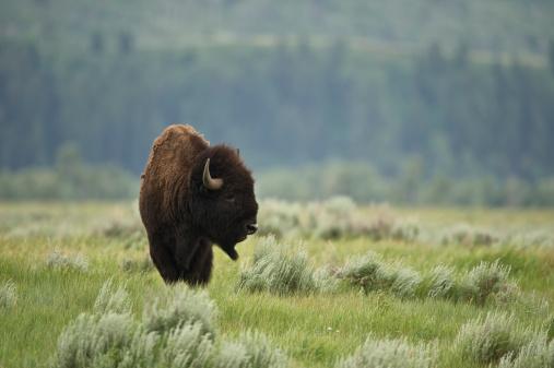 Horned「American Bison」:スマホ壁紙(13)