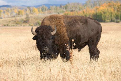 Horned「American Bison, Buffalo Grazing in Grass Field」:スマホ壁紙(9)