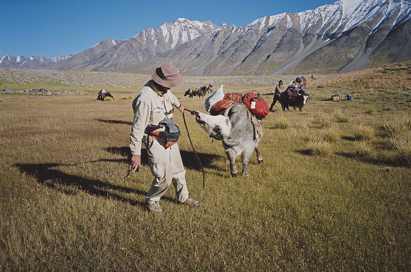 Wild Cattle「Conservationist In Wakhan」:写真・画像(2)[壁紙.com]
