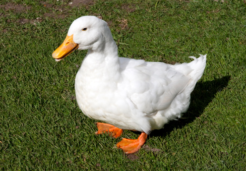American Pekin Duck「Fat Aylesbury-Pekin cross duck waddling」:スマホ壁紙(4)