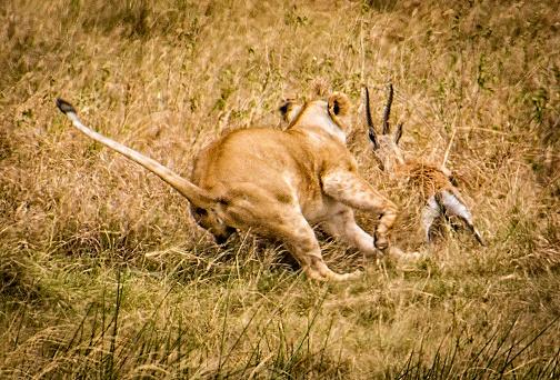 Gazelle「Lion Capturing Gazelle」:スマホ壁紙(12)
