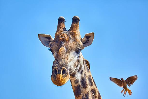 Headshot of Giraffe and bird:スマホ壁紙(壁紙.com)