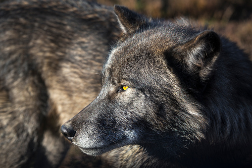 狼「Headshot of timber wolf, Rapid City, South Dakota, USA」:スマホ壁紙(1)