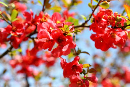 カリン「Quince Bush Blossoms」:スマホ壁紙(4)
