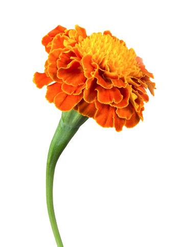 Marigold「A single orange marigold flower on a white background」:スマホ壁紙(5)