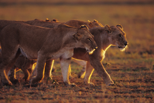 Lioness - Feline「Group of lionesses (Panthera leo), standing on grass savannah, Kenya」:スマホ壁紙(18)