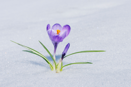 Crocus「Crocus in snow.」:スマホ壁紙(9)
