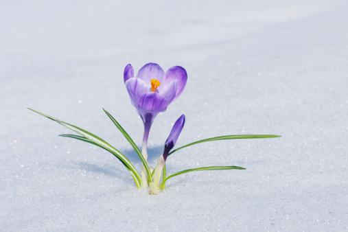 Crocus「Crocus in snow.」:スマホ壁紙(10)