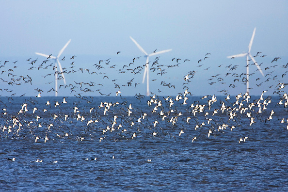 Wind「Flocks of waders at low tide. Oystercatchers (Haematopus ostralegus) in flight with offshore wind turbines. Point of Air, RSPB nature reserve, Dee estuary, SSSI Flintshire. Wales UK」:写真・画像(10)[壁紙.com]