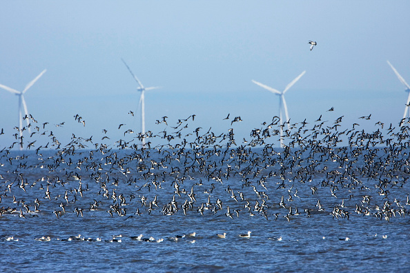 Animal Wildlife「Flocks of waders at low tide. Black tailed Godwit (Limosa limosa ) and Oystercatchers (Haematopus ostralegus) in flight with offshore wind turbines. RSPB nature reserve, Dee estuary, SSSI Flintshire, North Wales, UK」:写真・画像(6)[壁紙.com]