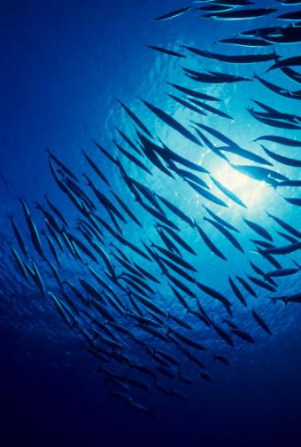 魚「バラクーダス、ブルー」:スマホ壁紙(12)