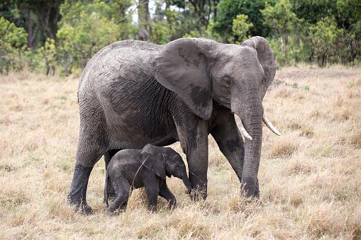 Elephant「Elephant and her calf in Maasai Mara, Kenya」:スマホ壁紙(3)