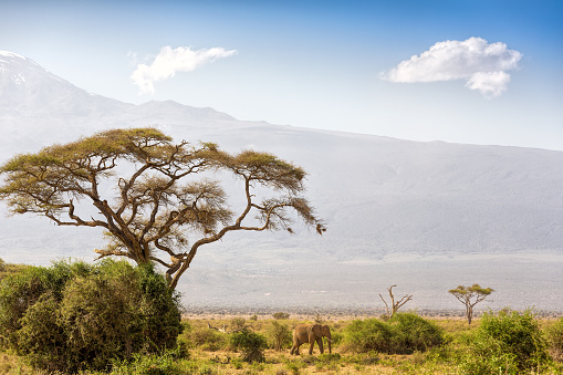 Safari「Elephant and Mount Kilimanjaro with Acacia」:スマホ壁紙(7)