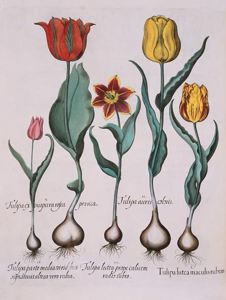 Botany「Tulipa Engraving by Basil Besler」:写真・画像(11)[壁紙.com]