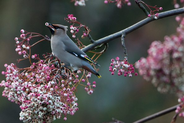 Bird「Migrating Waxwings Arrive In The UK From Scandinavia」:写真・画像(8)[壁紙.com]