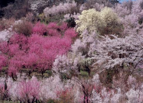 Hanami「Hanami Mountain, Fukushima, Fukushima, Japan」:スマホ壁紙(9)