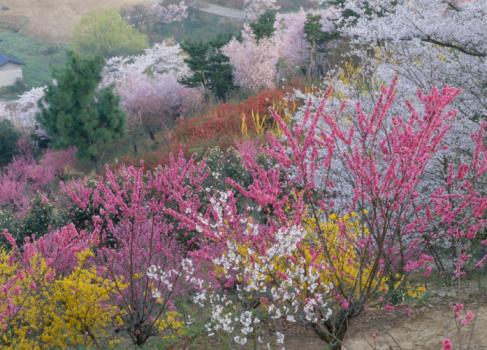 Hanami「Hanami Mountain, Fukushima, Fukushima, Japan」:スマホ壁紙(10)