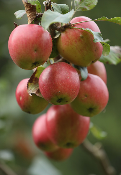 Fruit「Apple Harvest Underway In Brandenburg」:写真・画像(18)[壁紙.com]