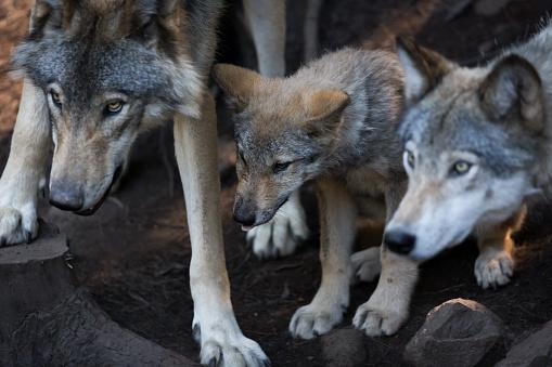 Baby animal「wolf protection」:スマホ壁紙(19)