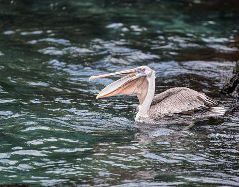 ガラパゴス諸島「ペリカンをがぶがぶと新鮮な魚、ガラパゴス諸島、エクアドル」:スマホ壁紙(7)