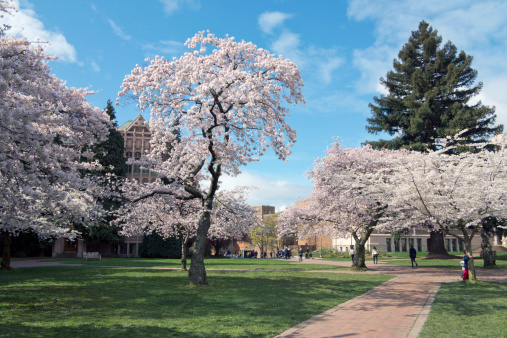 Cherry Blossoms「University of Washington in Spring」:スマホ壁紙(3)