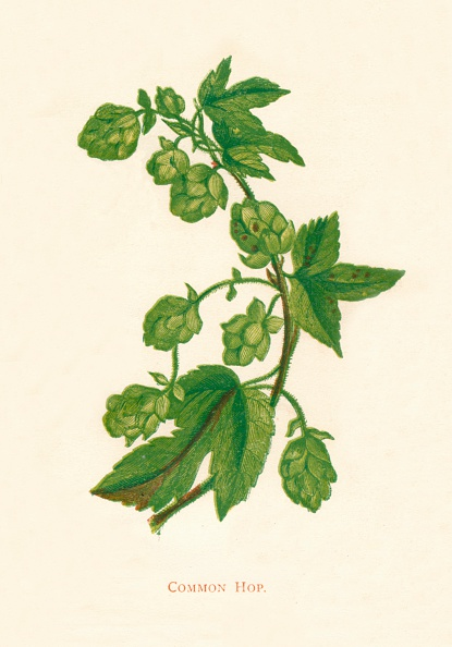 Uncultivated「Common Hop, c1891, (1891)」:写真・画像(1)[壁紙.com]