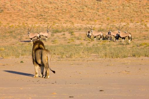 Gemsbok「Male lion (Panthera leo) approaching herd of gemsbok, Kgalagadi Transfrontier Park, Northern Cape Province, South Africa」:スマホ壁紙(19)