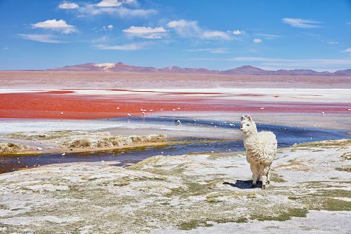 Animal Wildlife「Bolivia, Laguna Colorada, llama standing at lakeshore」:スマホ壁紙(8)