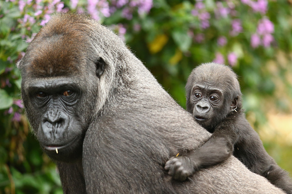 Gorilla「Taronga Zoo Welcomes Baby Gorilla」:写真・画像(4)[壁紙.com]