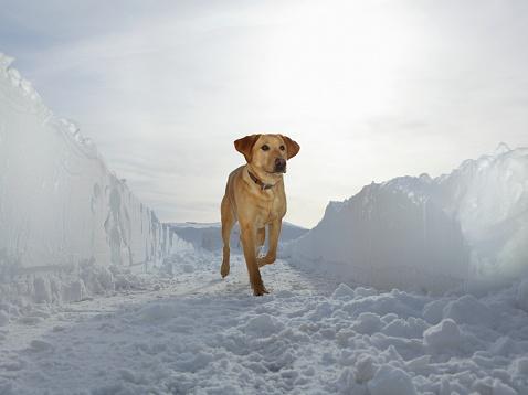 Carefree「Retriever running in corridor of plowed snow」:スマホ壁紙(17)