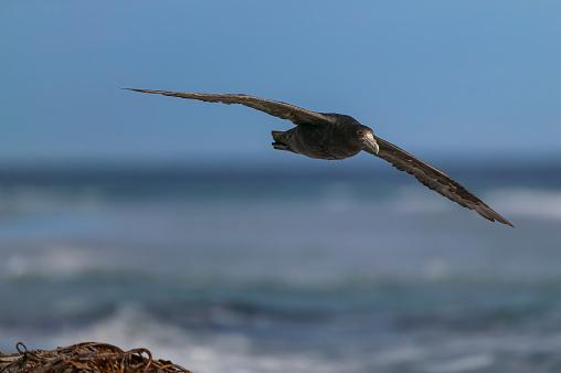 Falkland Islands「southern giant petrel (Macronectes giganteus)」:スマホ壁紙(5)