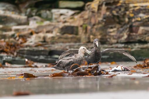 Falkland Islands「southern giant petrel (Macronectes giganteus)」:スマホ壁紙(8)