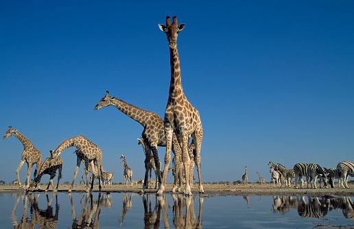 Giraffe「Southern Giraffe drinking at waterhole.Etosha N.P. Namibia」:スマホ壁紙(19)