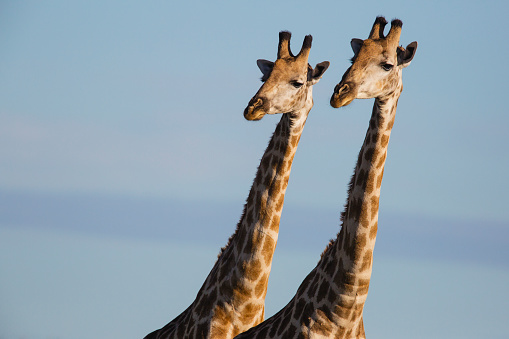 Giraffe「Southern giraffe standing closely together looking out in same direction」:スマホ壁紙(14)